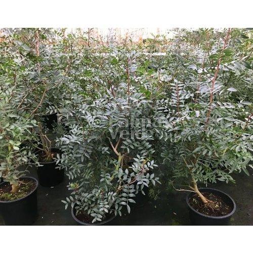 Bomen-trees Pistacia lentiscus - Mastiekboom