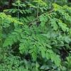 Eetbare tuin-edible garden Moringa oleifera - Miracle tree