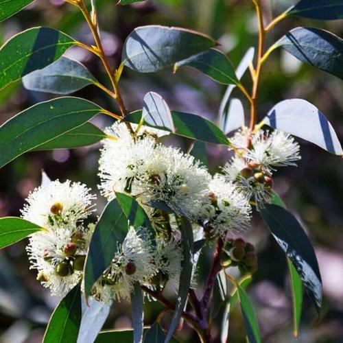 Bomen-trees Eucalyptus globulus - Blauwe gomboom