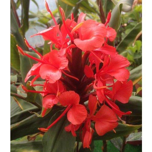 Bloemen-flowers Hedychium rubrum - Gember