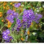 Bloemen-flowers Duranta repens Geisha Girl - Golden dewdrop