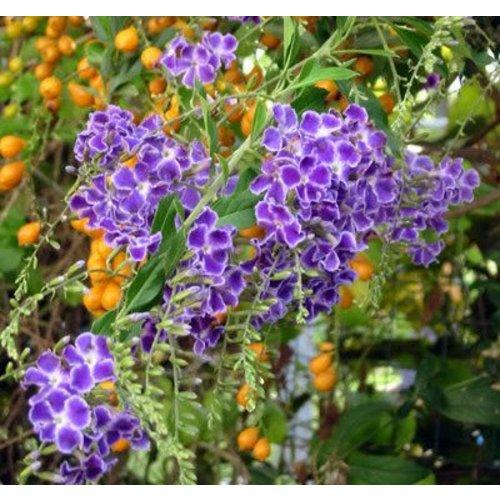 Bloemen-flowers Duranta repens Geisha Girl - Gouden dauwdruppel