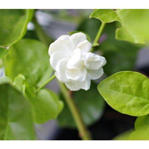 Bloemen-flowers Jasminum sambac Grand Duke of Tuscany
