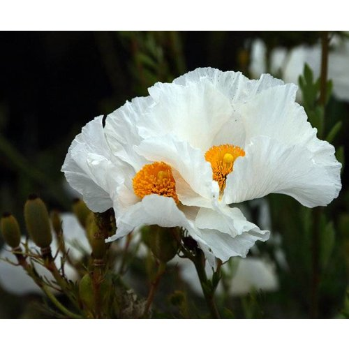 Bloemen-flowers Romneya coulteri - Fried egg