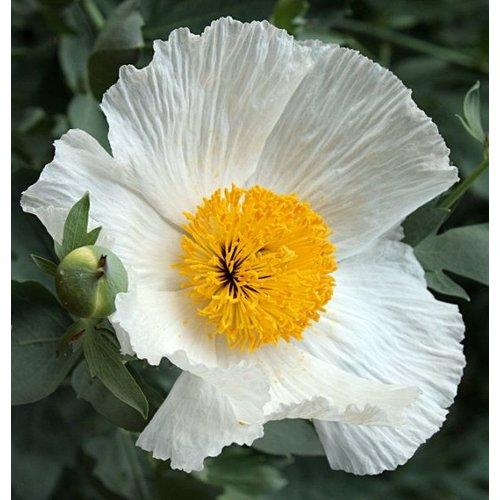 Bloemen-flowers Romneya coulteri - Spiegelei
