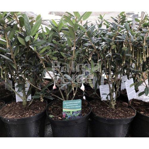 Bloemen-flowers Crinodendron hookerianum - Chileense lantaarn
