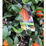 Eetbare tuin-edible garden Citrus limon Rosso - Bloedcitroen