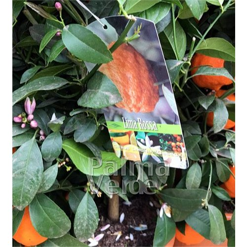 Eetbare tuin-edible garden Citrus limon Rosso - Blood lemon