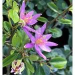 Bloemen-flowers Grewia occidentalis - Lavendelster - Kruisbesje