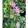 Bloemen-flowers Grewia occidentalis - Lavender Star - Crossberry