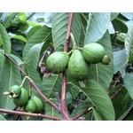 Eetbare tuin-edible garden Psidium guajava - Guave