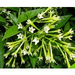 Bloemen-flowers Cestrum nocturnum - Dame van de nacht - Nachtjasmijn