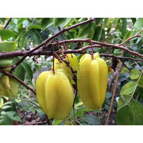 Eetbare tuin-edible garden Averrhoa carambola - Star apple