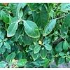 Bloemen-flowers Pereskia grandifolia