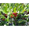 Eetbare tuin-edible garden Synsepalum dulcificum - Mirakelbes