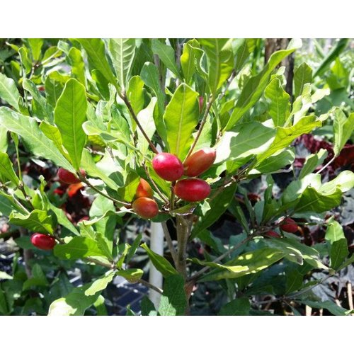 Eetbare tuin-edible garden Synsepalum dulcificum - Miracle berry