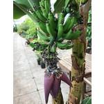 Bananen-bananas Musa acuminata Grand Nain - Chiquita banaan