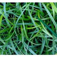 Siergrassen-ornamental grasses Carex Morrowii