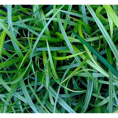 Siergrassen-ornamental grasses Carex morrowii - Japanse zegge