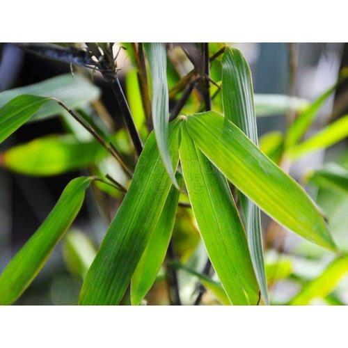 Bamboe-bamboo Fargesia nitida Gansu 2