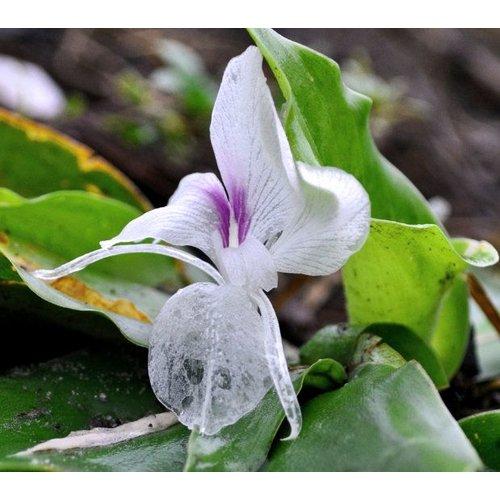 Eetbare tuin-edible garden Kaempferia galanga - Kentjoer
