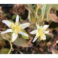 Bloemen-flowers Tricyrtis hirta Alba - Garden Orchid