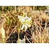Bloemen-flowers Tricyrtis hirta Alba - Paddelelie - Tuinorchidee