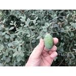 Bloemen-flowers Acca sellowiana - Brazilian guava