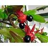 Bloemen-flowers Ochna serrulata - Mickey Mouse shrub
