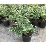 Bloemen-flowers Ochna serrulata - Mickey Mouse struik - Fijnblaarrooihout