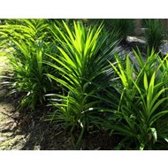 Eetbare tuin-edible garden Pandanus amaryllifolius - Pandan - Schroefpalm