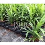 Eetbare tuin-edible garden Pandanus amaryllifolius - Pandan