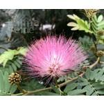Bloemen-flowers Calliandra haematocephala - Poederdons