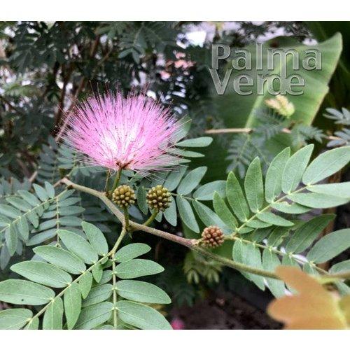 Bloemen-flowers Calliandra haematocephala - Powderpuff