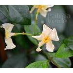 Bloemen-flowers Trachelospermum Star of Toscane - Gele sterjasmijn