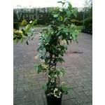 Bloemen-flowers Trachelospermum Star of Tuscany - Yellow star jasmine