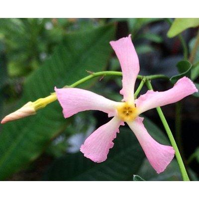 Bloemen-flowers Trachelospermum Star of Sicily - Pink star jasmine