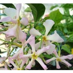 Bloemen-flowers Trachelospermum Star of Sicily - Roze sterjasmijn