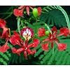 Bloemen-flowers Delonix regia - Flamboyant