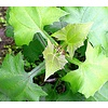 Eetbare tuin-edible garden Smallanthus sonchifolius - Yacon