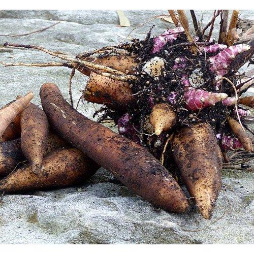 Eetbare tuin-edible garden Smallanthus sonchifolius - Yacon - Appelwortel