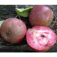 Eetbare tuin-edible garden Pyrus communis Cocomerina - Blood pear