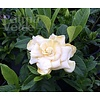 Bloemen-flowers Gardenia jasminoides Snowball