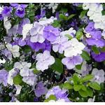 Bloemen-flowers Brunfelsia pauciflora