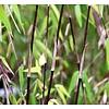 Bamboe-bamboo Fargesia jiuzhaigou Deep Purple