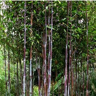 Bamboe-bamboo Fargesia demissa Gerry