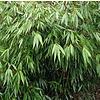 Bamboe-bamboo Fargesia robusta Wenchuan