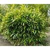 Bamboe-bamboo Indocalamus latifolius