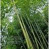 Bamboe-bamboo Phyllostachys Shanghai 3