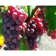 Eetbare tuin-edible garden Vitis vinifera Red Globe - Grape